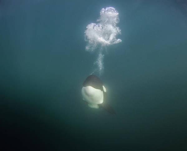 Bubble Photograph - A Killer Whale Blows Off Bubbles While by Rainer Schimpf