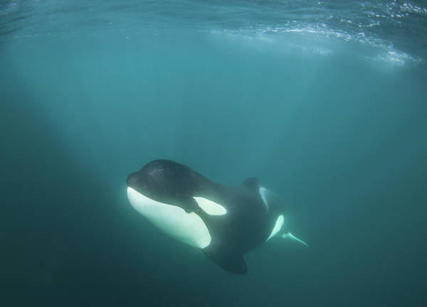 Underwater Camera Photograph - A Killer Whale Under The Water by Rainer Schimpf