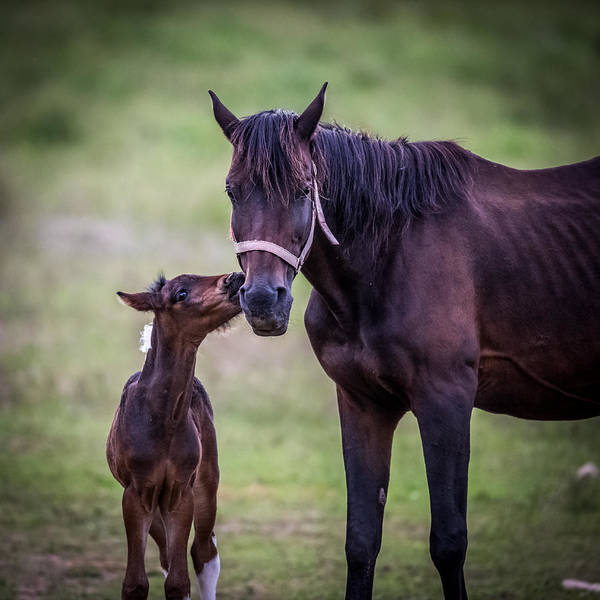 Mare And Foal Photograph - A Kiss For Mom by Paul Freidlund