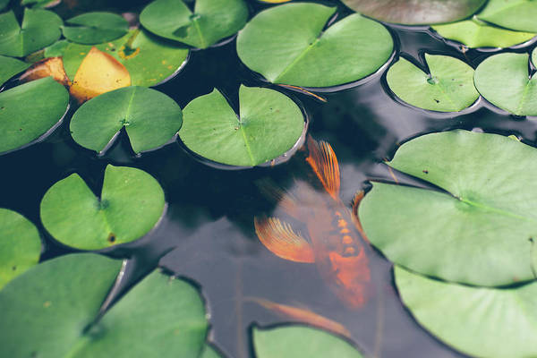 Koi Pond Photograph - A Koi Fish Swimming Underneath Lily by Melissa Ross
