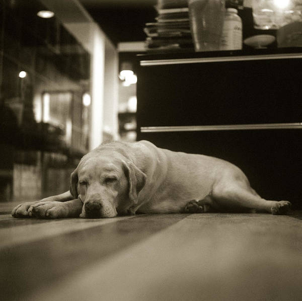 Resting Photograph - A Labrador Retriever Resting On The by Lin Yu Wei
