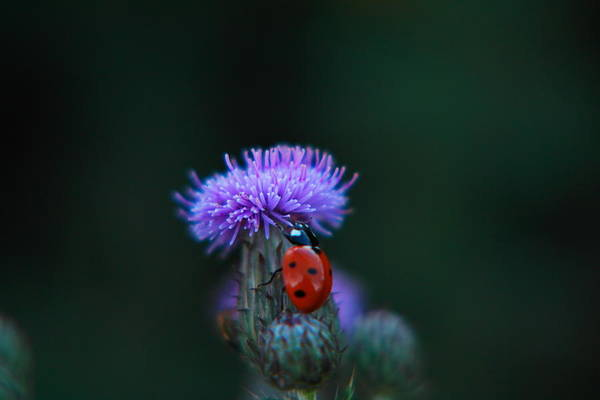 Little Things Photograph - A Lady Bug Climbing A Thistle by Jeff Swan
