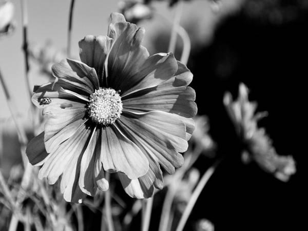 Photograph - A Ladybug by Digital Photographic Arts