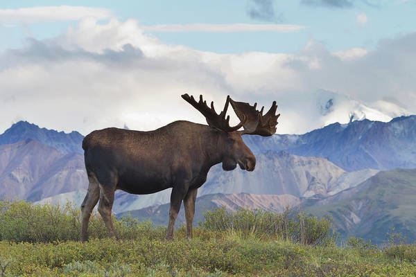 Wall Art - Photograph - A Large Bull Moose Stands On The Tundra by Hugh Rose