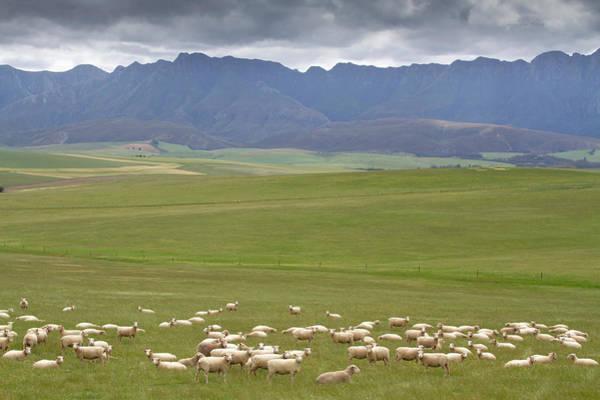 Grazing Photograph - A Large Flock Of Merino Sheep Grazing by Hein Von Horsten
