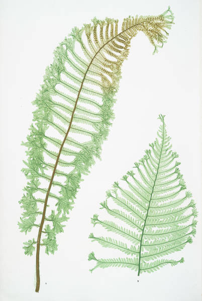 Organic Drawing - A. Lastrea Filix-mas Cristata. B. L. Filix-mas Polydactyla by Artokoloro