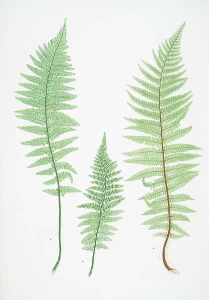 Organic Drawing - A. Lastrea Filix-mas Pumila. B. L. Filix-mas Paleacea by Artokoloro