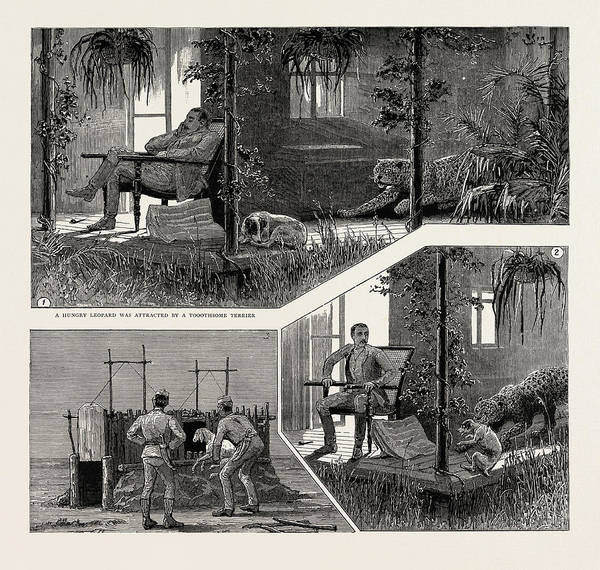 Prepare Drawing - A Leopard Hunt In Upper Burma, 1889 A Hungry Leopard by Litz Collection