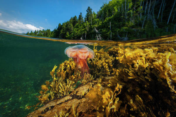 Lion's Mane Jellyfish Photograph - A Lions Mane Jellyfish Drifts by David Doubilet