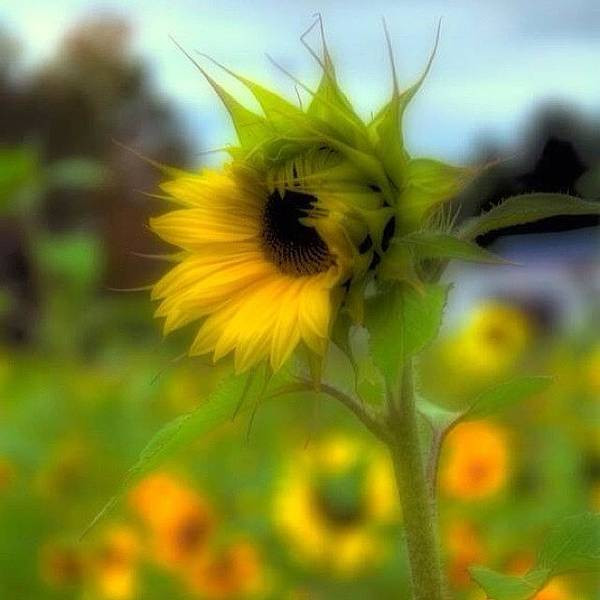 Sunflowers Wall Art - Photograph - A Little Sunshine In A Cold, And Drabby by Joann Vitali