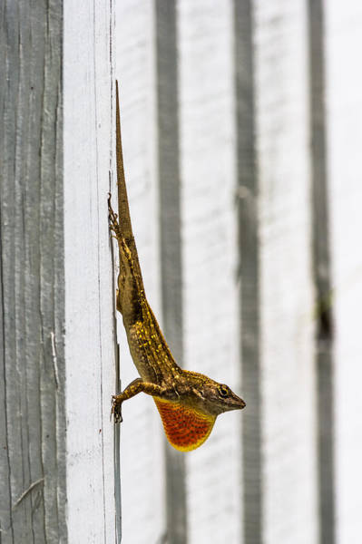 Photograph - A Lizard On A Fence by Ed Gleichman