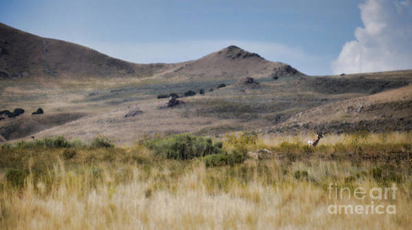 Photograph - A Lone Antelope On Antelope Island by Donna Greene