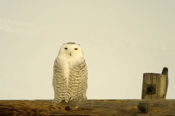 Wall Art - Photograph - A Lone Artic Owl by Jeff Swan