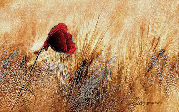 Photograph - A Lone Poppy Entertaining The Wheat by Ericamaxine Price