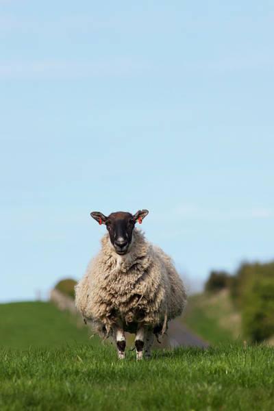 Livestock Photograph - A Lone Sheep Standing In A Grass Field by John Short / Design Pics