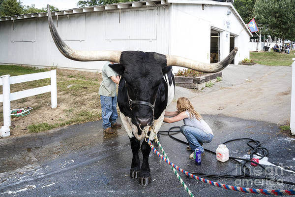 Photograph - A Longhorn Steer Is Prepared For Exhibition At A County Fair by William Kuta