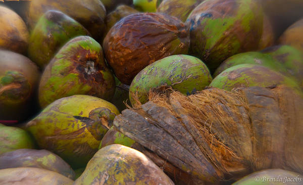 Photograph - A Lovely Bunch Of Coconuts by Brenda Jacobs