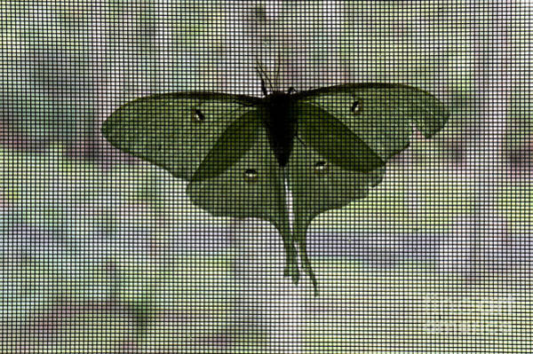 Photograph - A Luna Moth Perches On A Screen Door by William Kuta