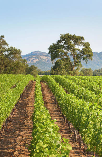 Napa Valley Photograph - A Lush Green Vineyard In Napa Valley by Billy Hustace