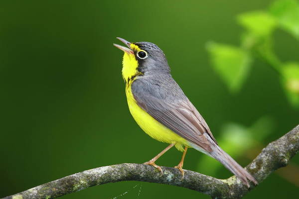 Garrett County Wall Art - Photograph - A Male Canada Warbler, Cardellina by George Grall