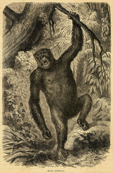 Wall Art - Drawing - A Male Gorilla Stakes Out His by Mary Evans Picture Library