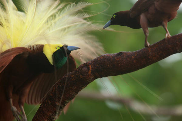 Wall Art - Photograph - A Male Greater Bird Of Paradise by Tim Laman