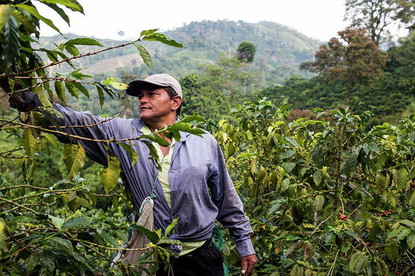 Manizales Photograph - A Man Harvests Coffee Beans On A Farm by Modoc Stories