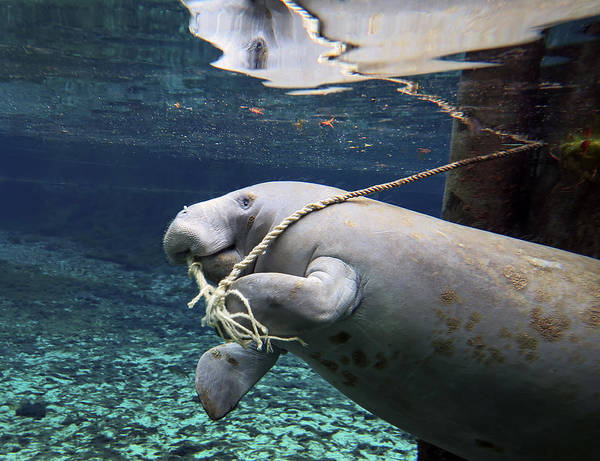 West Indian Manatee Photograph - A Manatee Chews On A Dock Rope by Michael Wood