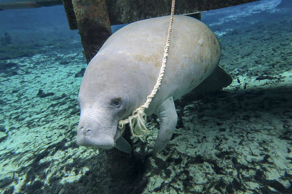 West Indian Manatee Photograph - A Manatee Gnawing On The Dock Line by Michael Wood