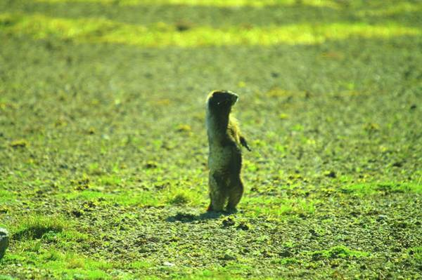 Marmot Photograph - A Marmon Checking Things Out  by Jeff Swan
