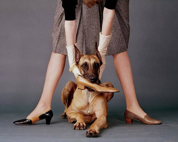 Pet Photograph - A Model With A Dog Holding A Shoe In Its Mouth by John Rawlings