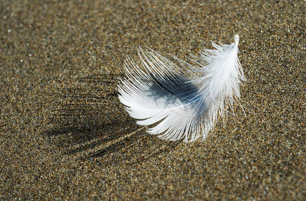 Molting Wall Art - Photograph - A Molted Gull Feather Lies On The Beach by Robert L. Potts