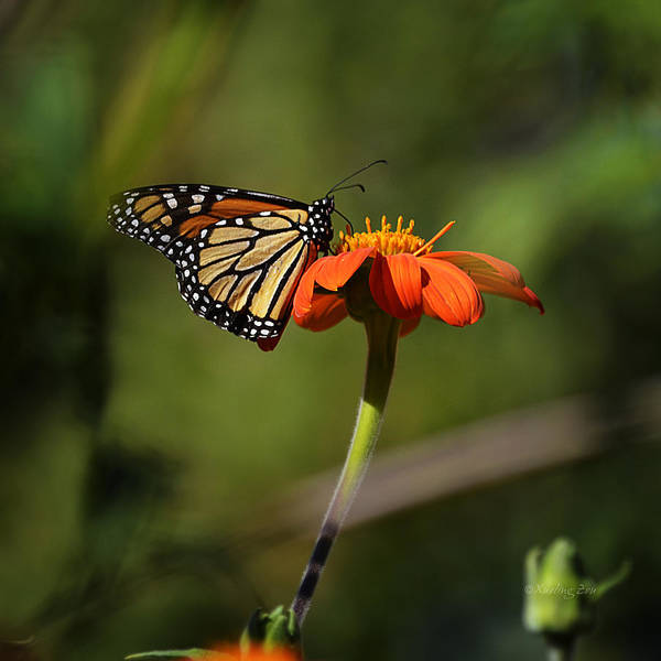 Photograph - A Monarch Butterfly 1 by Xueling Zou