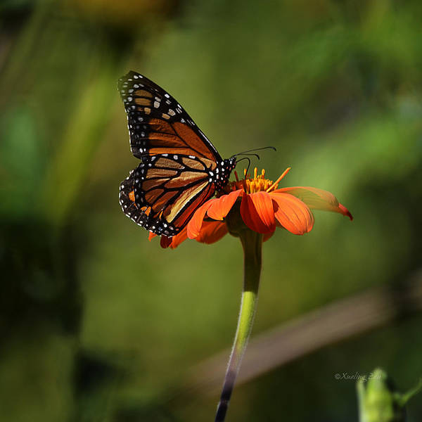 Photograph - A Monarch Butterfly 2 by Xueling Zou