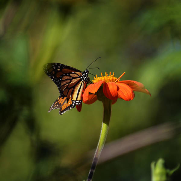 Photograph - A Monarch Butterfly 3 by Xueling Zou
