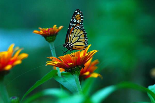 Photograph - A Monarch by Raymond Salani III