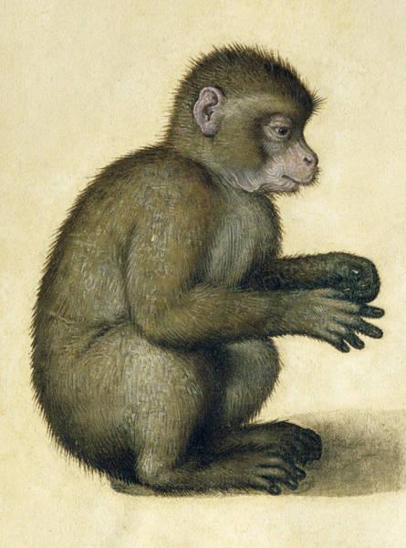 Albrecht Durer Wall Art - Painting - A Monkey by Albrecht Durer