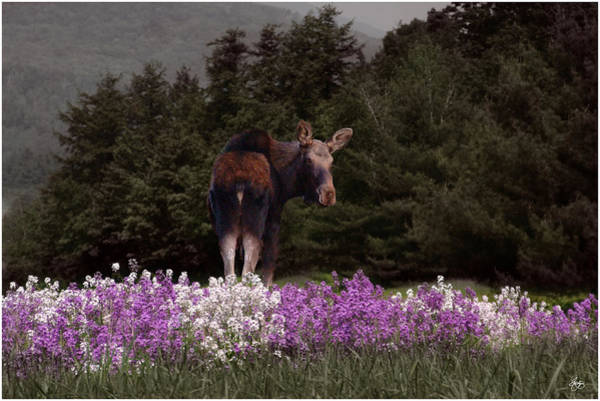 Photograph - A Moose In The Phlox by Wayne King