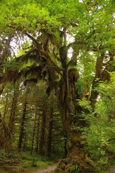 Living Things Photograph - A Moss Covered Tree  In The Ho National Rain Forest by Jeff Swan