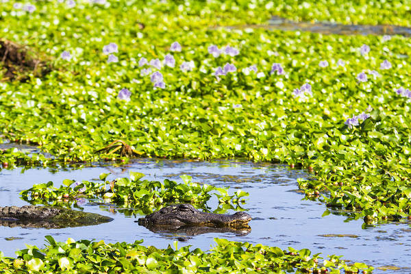 Wall Art - Photograph - A Mother Alligator In A Flowery Swamp by Ellie Teramoto