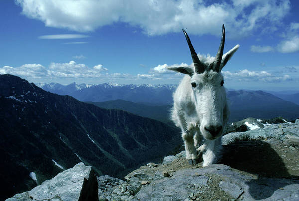 Wall Art - Photograph - A Mountain Goat Climbs On The Edge by Jose Azel