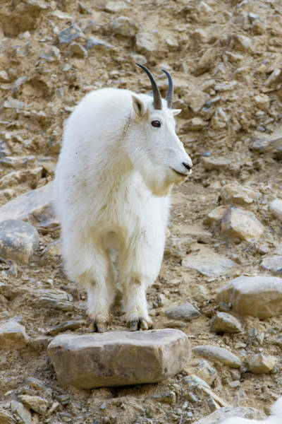 Wall Art - Photograph - A Mountain Goat On Watch In The Big by Robin Carleton