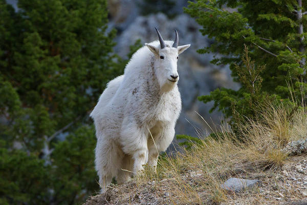 Wall Art - Photograph - A Mountain Goat Stands On A Grassy by Robin Carleton