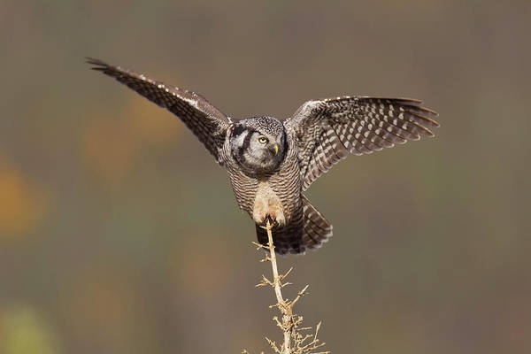 Boreal Forest Photograph - A Northern Hawk Owl Surveys The Boreal by Hugh Rose