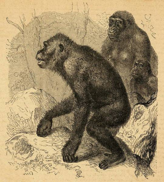 Wall Art - Drawing - A Nuclear Gorilla Family by Mary Evans Picture Library