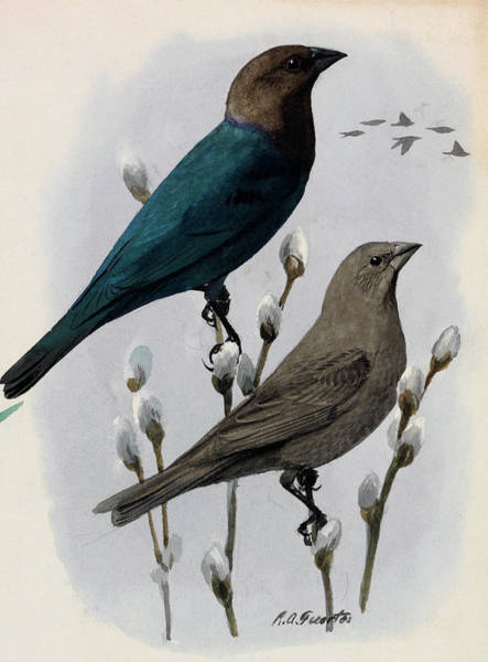 Molothrus Ater Photograph - A Painting Of A Male And Female Cowbird by Louis Agassi Fuertes