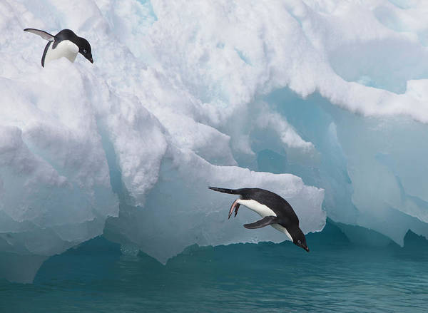 Wall Art - Photograph - A Pair Of Adelie Penguins Leap by Hugh Rose