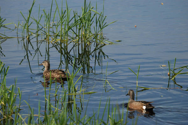 Horicon Marsh Photograph - A Pair Of Blue-winged Teal by Janice Adomeit