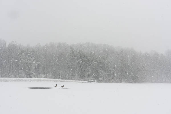 Wall Art - Photograph - A Pair Of Canada Geese On A Snow by Stephen Alvarez