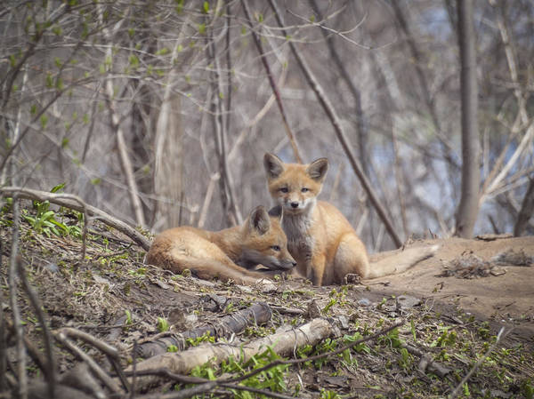 Photograph - A Pair Of Cute Kit Foxes 2 by Thomas Young